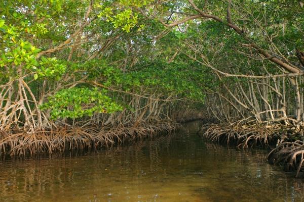 Hutan Mangrove Taman Nasional Sembilang (sumber: superadventure.co.id)